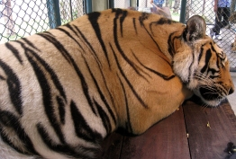 wayfinding-thailand-tigers-13