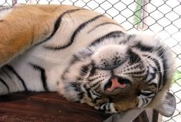 wayfinding-thailand-tigers-15
