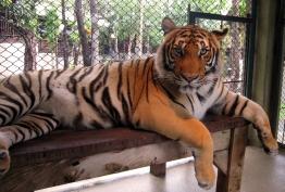 wayfinding-thailand-tigers-17