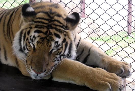 wayfinding-thailand-tigers-19