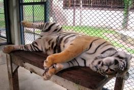 wayfinding-thailand-tigers-20