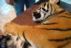 wayfinding-thailand-tigers-5