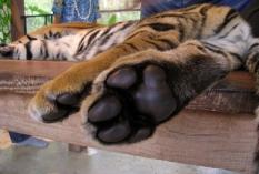 wayfinding-thailand-tigers-7