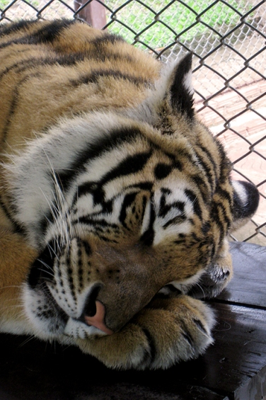 wayfinding-thailand-tigers-8